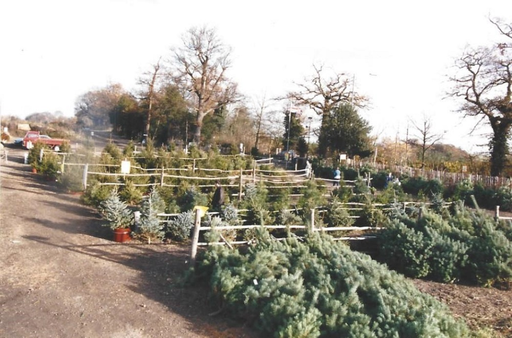 Christmas trees by Maurice Mandry Limited Ottershaw 3